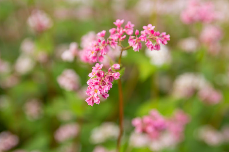 buckwheat flower season in ha giang